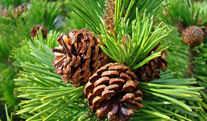 pine-tree-blendspaceDOTcom