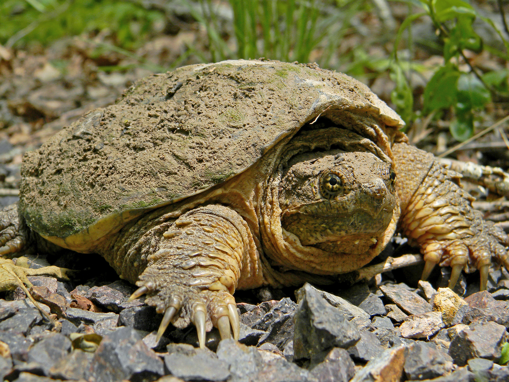 Common_Snapping_Turtle_Close_Up