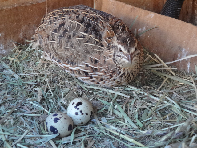The Little-Known Benefits Associated with Raising Quail ... Raising Quail