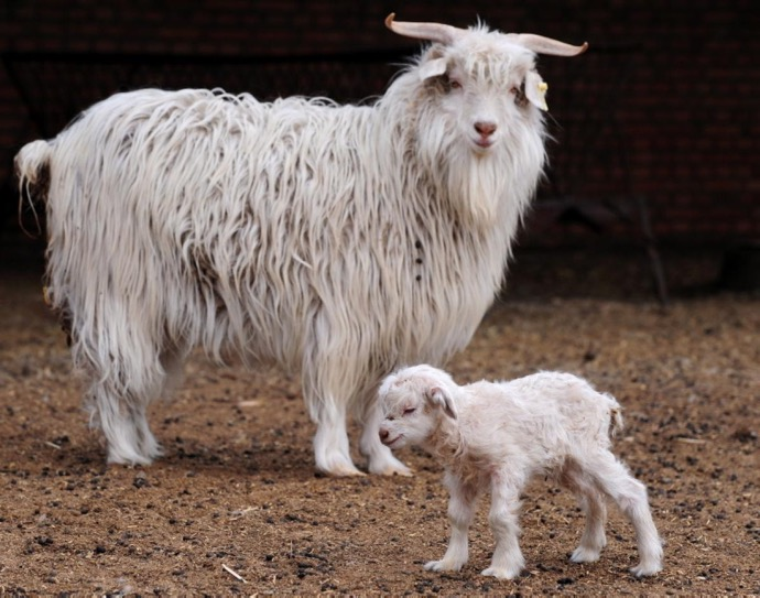 cashmere-goat-baby